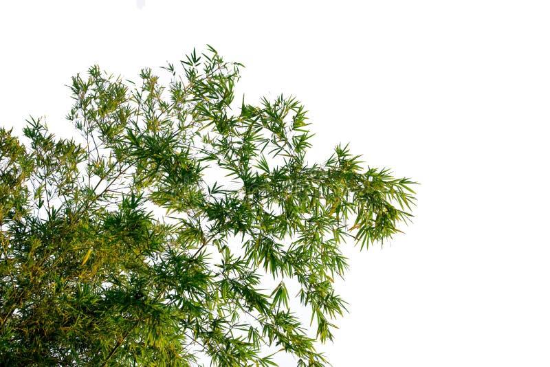 Bambusów liście na białym tle obrazy stock