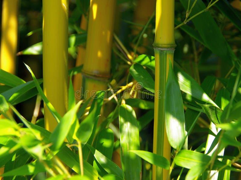 Bambus 01 stockfotografie