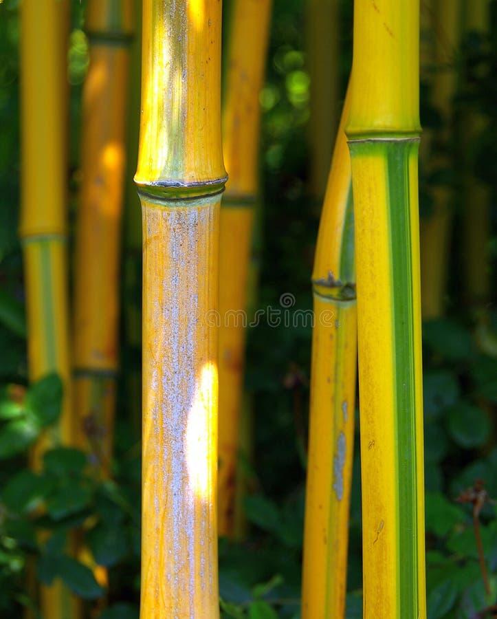 Bambus 02 stockbilder