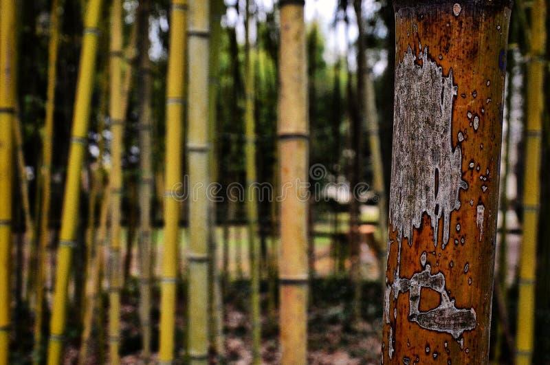Bambus lizenzfreies stockfoto
