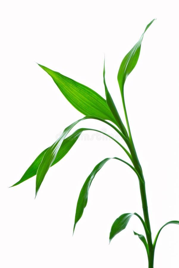 bambus obrazy royalty free