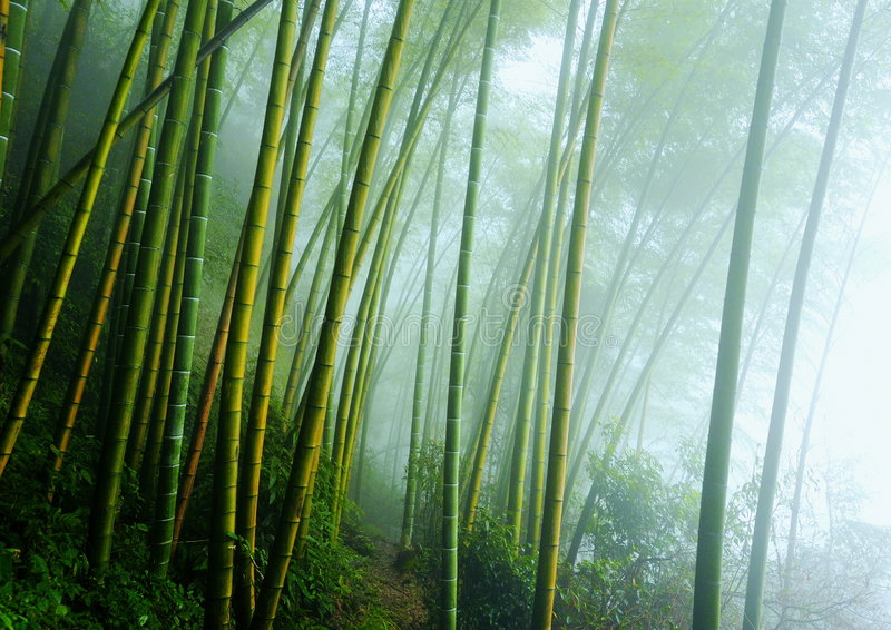bambus obrazy stock