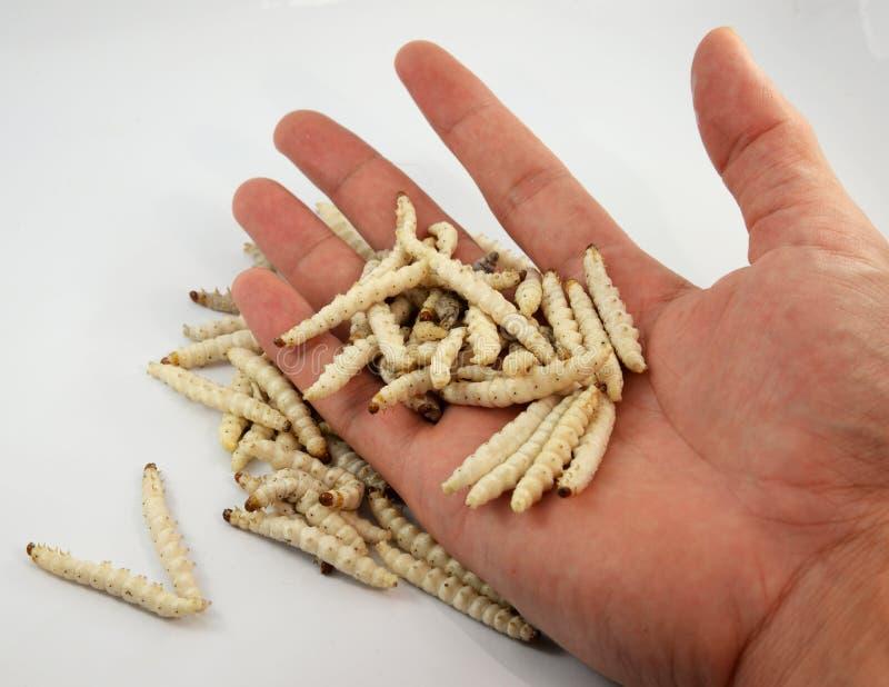 Bambus-Caterpillar- - Omphisa-fuscidentalis in der Hand stockfotografie