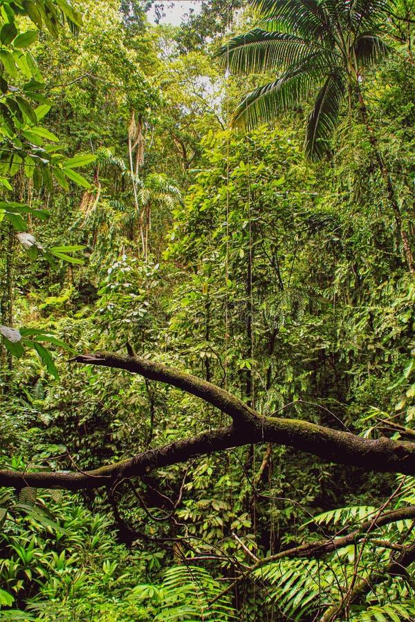Bambus in den Westindischen Inseln stockfoto