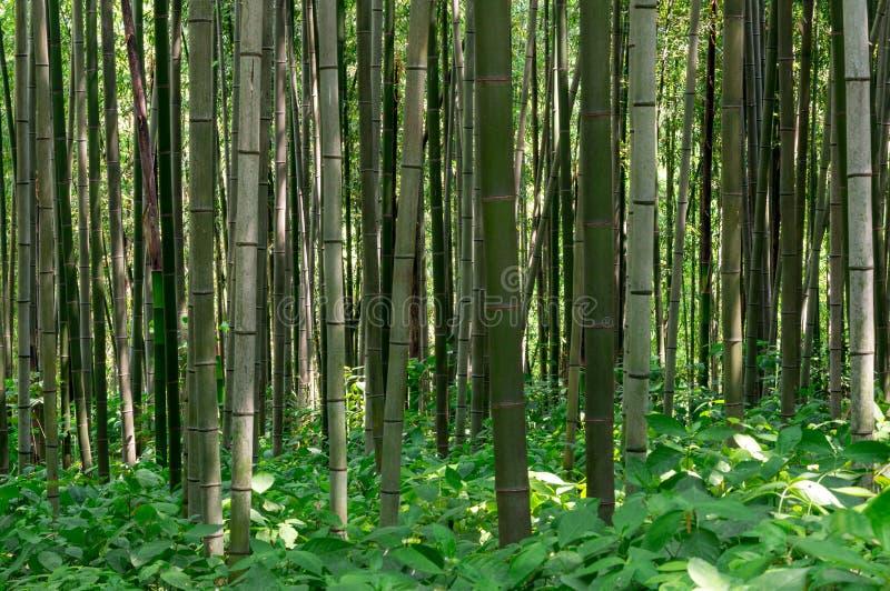 Download Bambus forrest zdjęcie stock. Obraz złożonej z ławka - 41954210