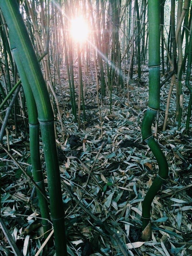 Bambus forrest lizenzfreie stockbilder