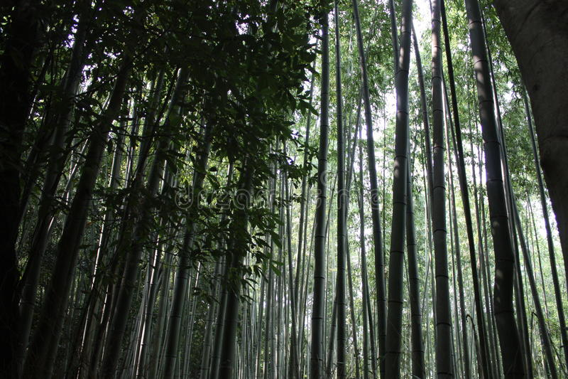 Bambus forrest stockbild