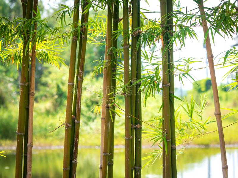 Bambus mit einem natürlichen Hintergrund 01 stockbilder