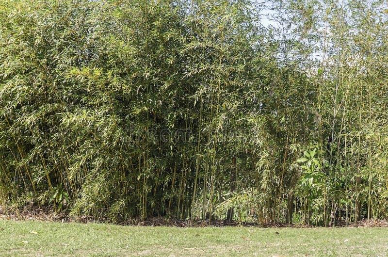 Bambus rośliny w złotych brzmieniach zdjęcie royalty free