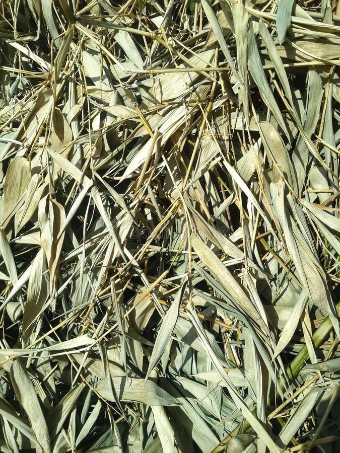 bambus suszący liść zdjęcie stock