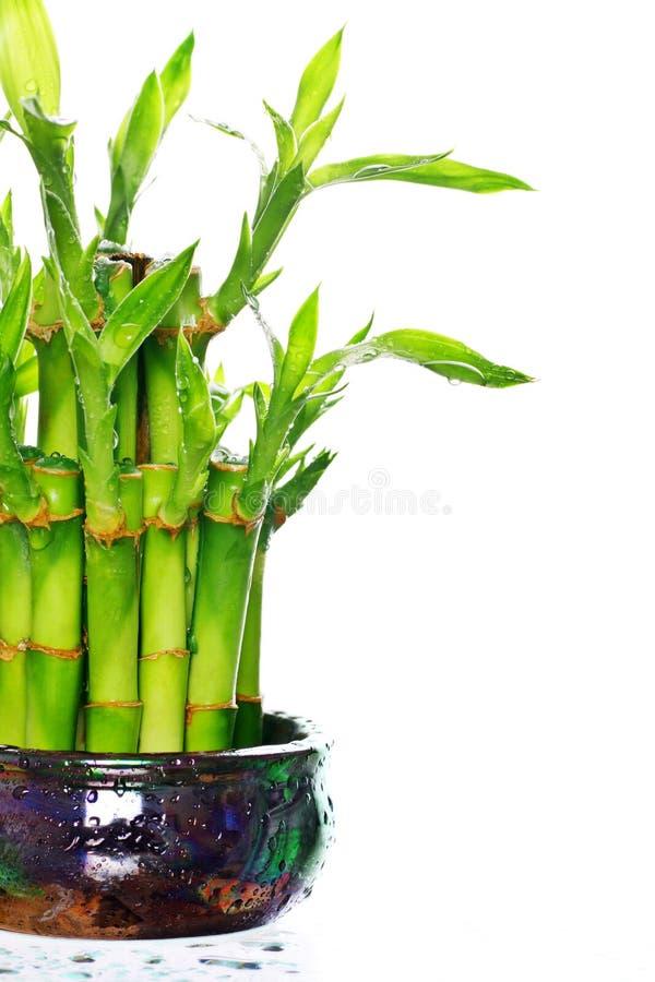 bambus szczęście zdjęcia royalty free