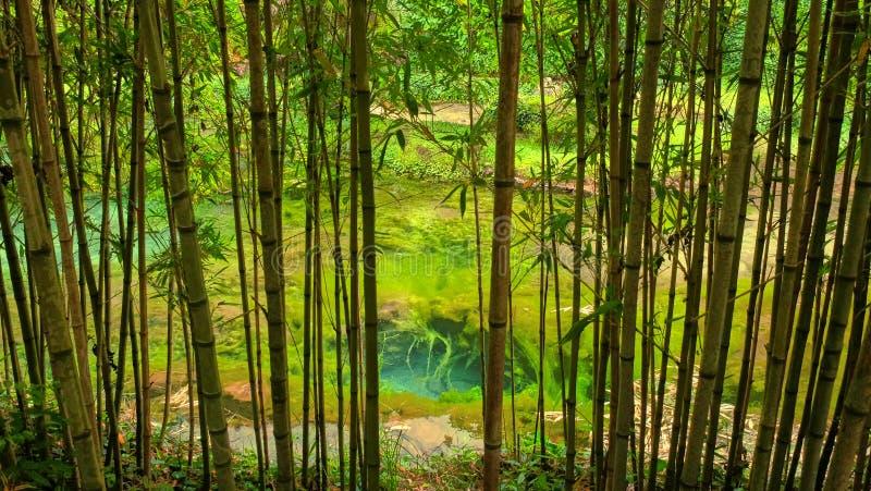 Bambus w ogródzie w Morinj, Kotor zatoka, Montenegro fotografia royalty free