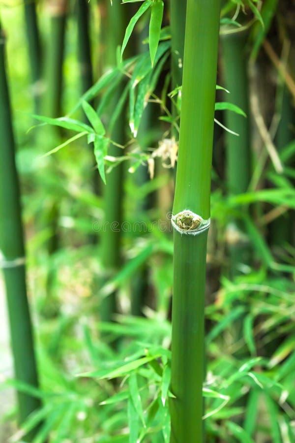 Bambus w tropikalnej dżungli zdjęcie stock