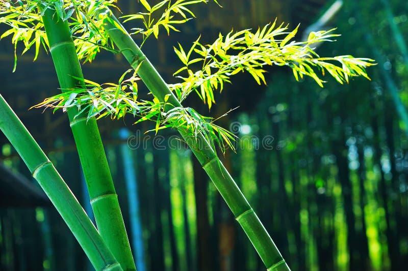 Bambus z liśćmi obraz stock