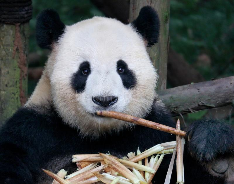 bambusa niedźwiadkowego łasowania gigantyczna panda fotografia stock