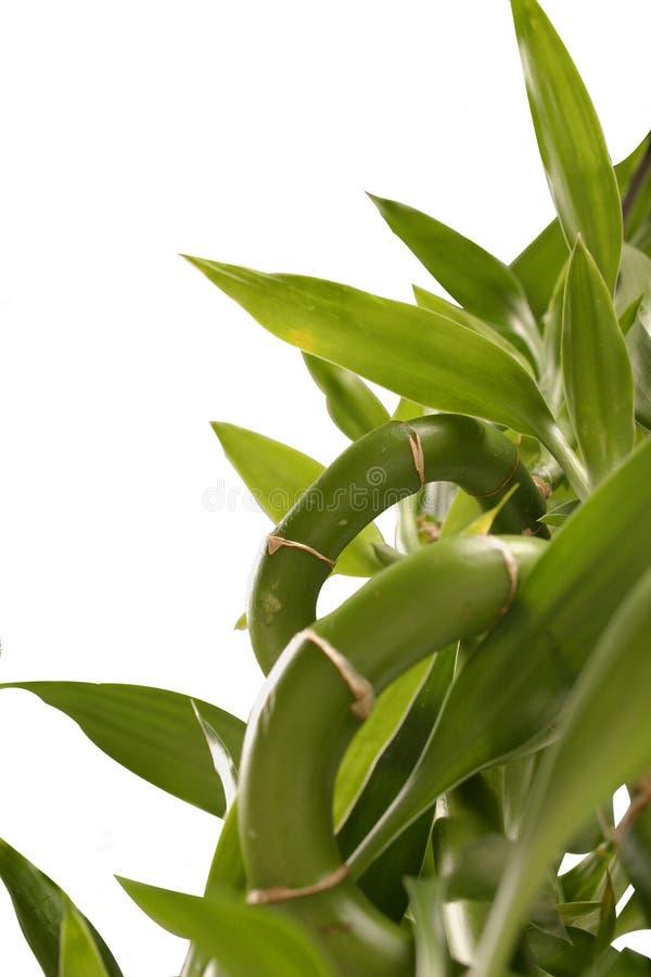 Bambusanlage stockbilder