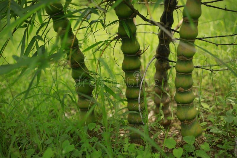 Bambusanlage lizenzfreie stockbilder