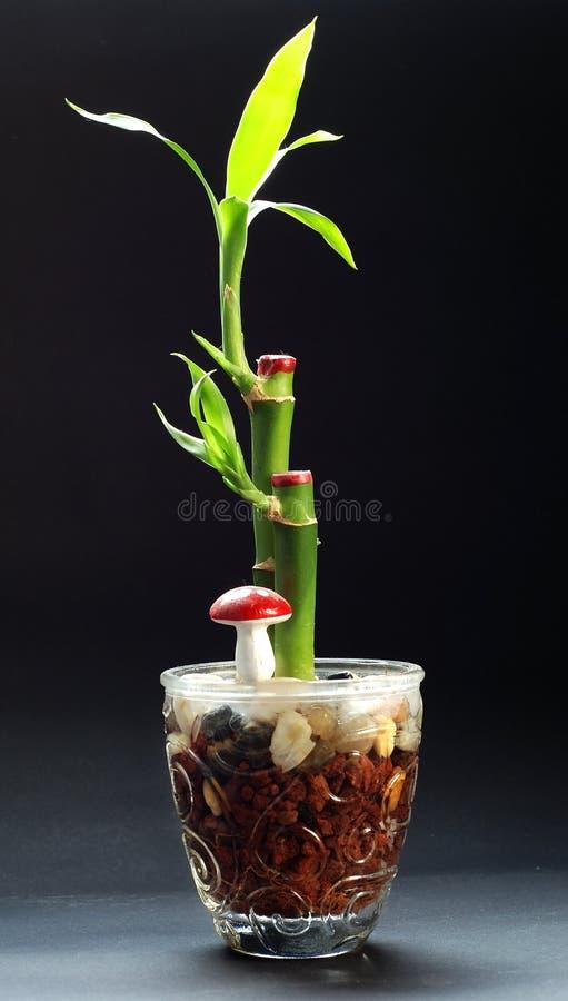 Bambusanlage in einem Vase stockfoto