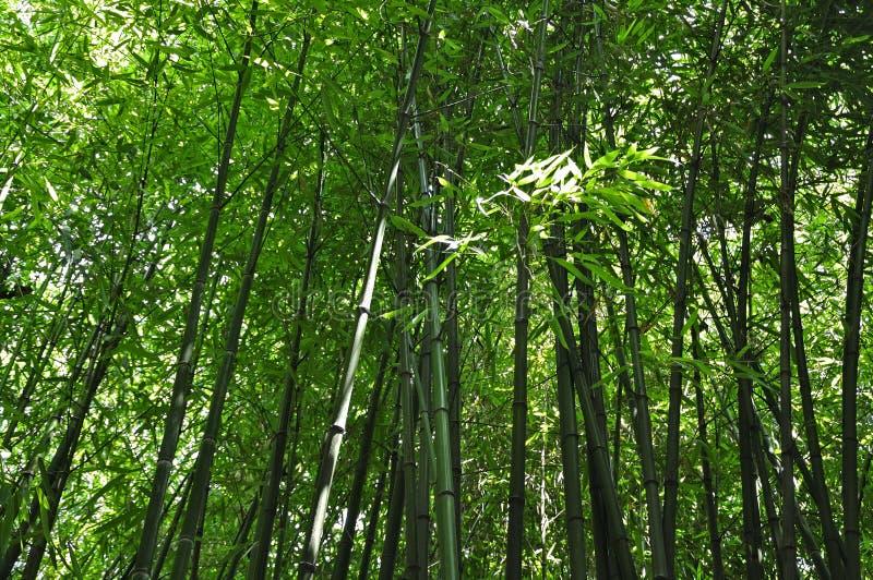 Bambusanlagen lizenzfreie stockbilder