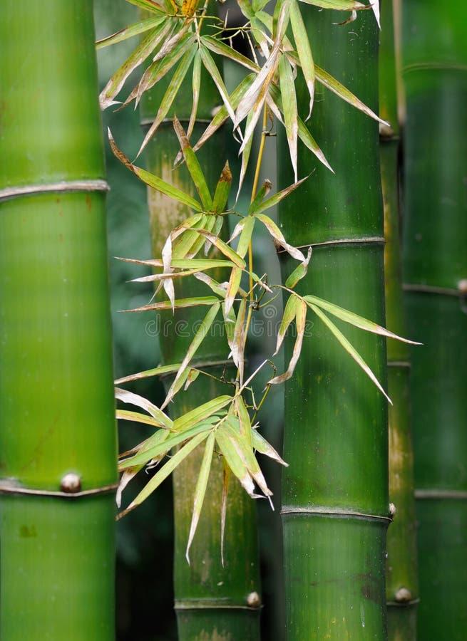 Bambusbäume stockfotografie