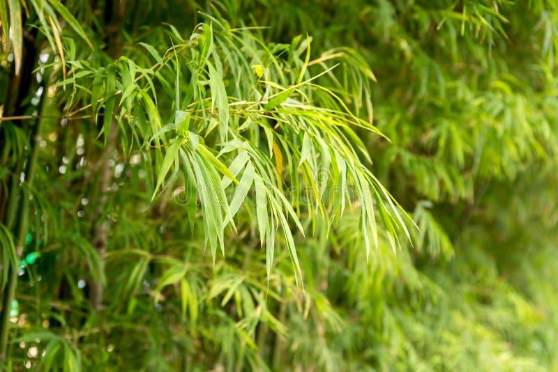 Bambusblätter im Waldlandschaftshintergrund stockfoto