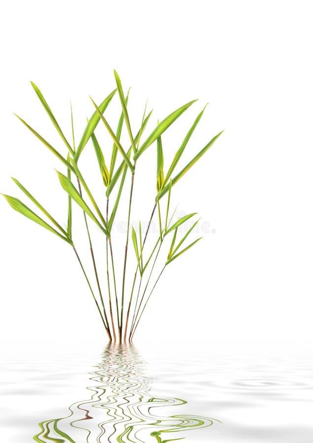 Bambusblatt-gras-schönheit Stockbild