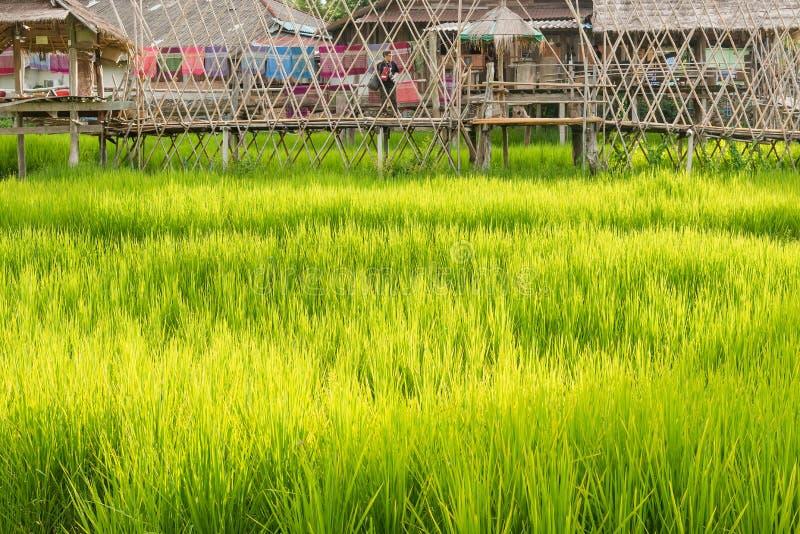 Bambusbrücke im Reisreisfeld in Nan Province, Thailand lizenzfreies stockfoto