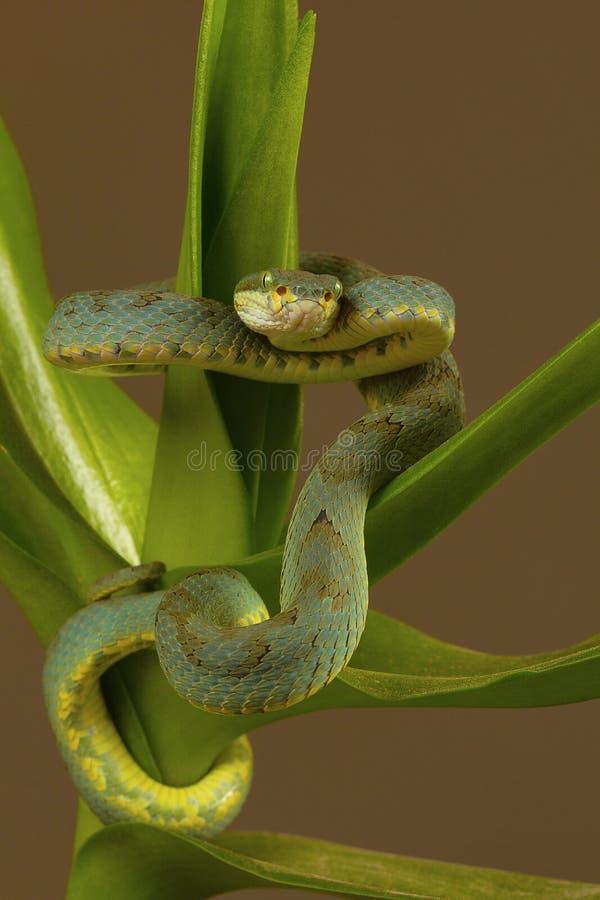 Bambusgrubenviper Trimeresurus-gramineus Visakhapatnam lizenzfreies stockfoto