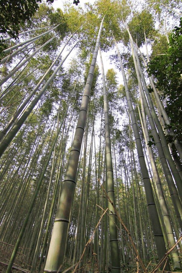 Bambuskog på kyoto Japan arkivfoto