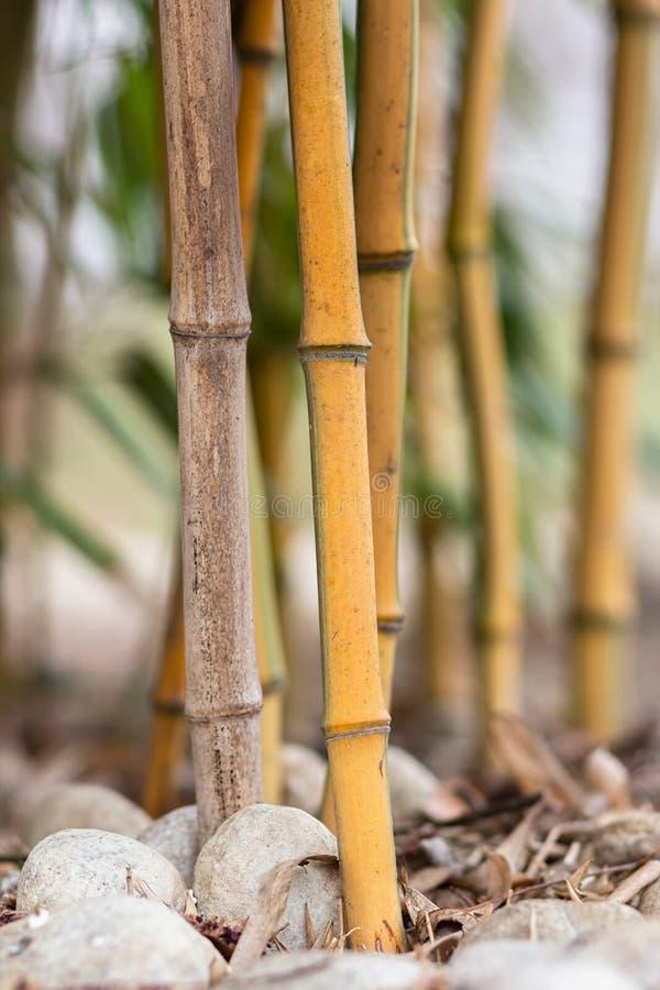 Bambuskogdetalj, slut upp av bambustjälk och stora vita kiselstenar arkivfoton