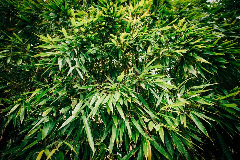Bambuskoglövverk fotografering för bildbyråer
