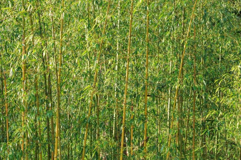 Bambuskogvägg royaltyfria foton