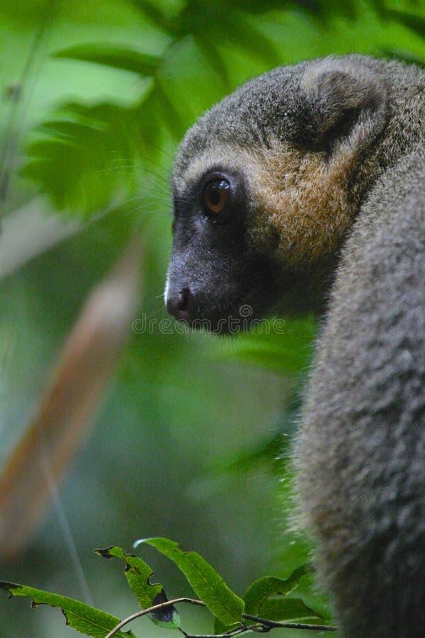 Bambusmaki von Madagaskar-bedrohter Art stockfotos