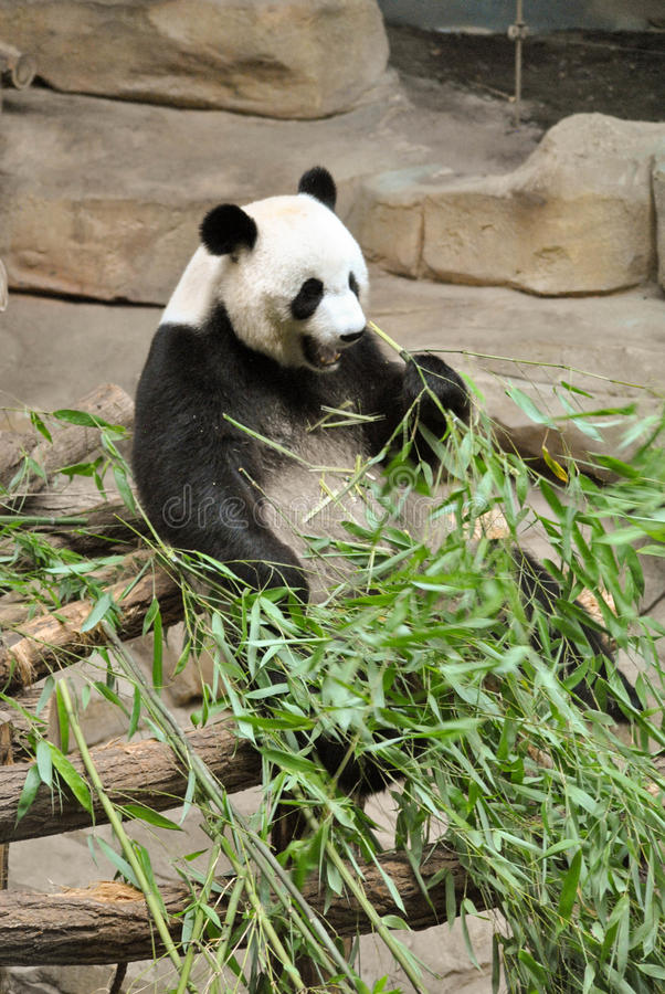 bambusowa je panda zdjęcia royalty free