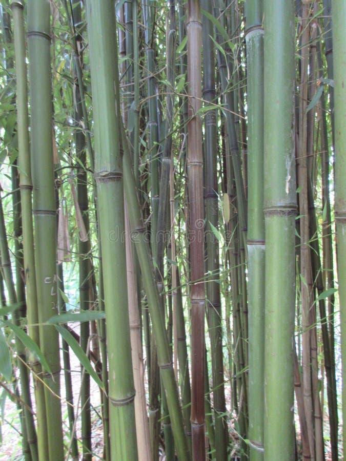 Bambusowe trzciny zdjęcia stock