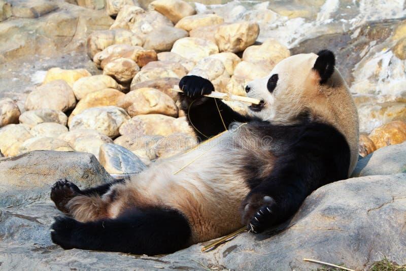 bambusowego łasowania gigantyczna panda zdjęcie royalty free