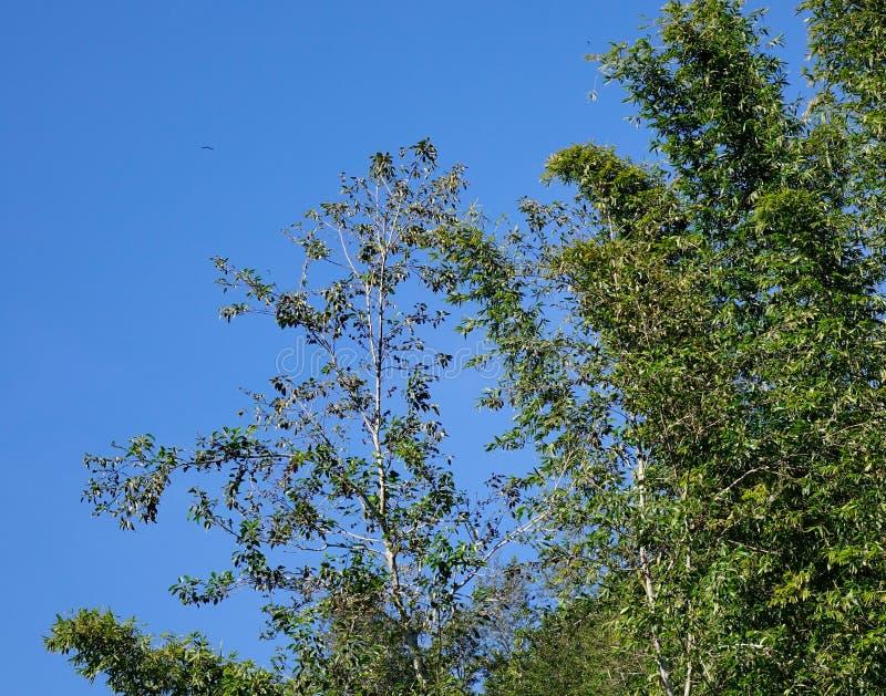 Bambusowi drzewa przy lasem w Ifugao, Filipiny obrazy royalty free