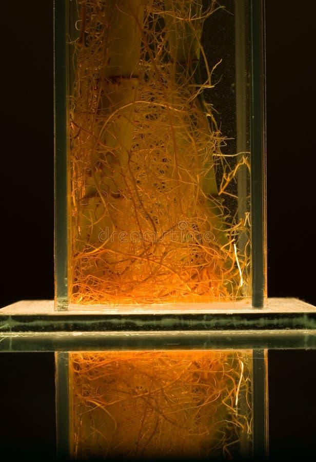 bambusowi korzenie obraz royalty free