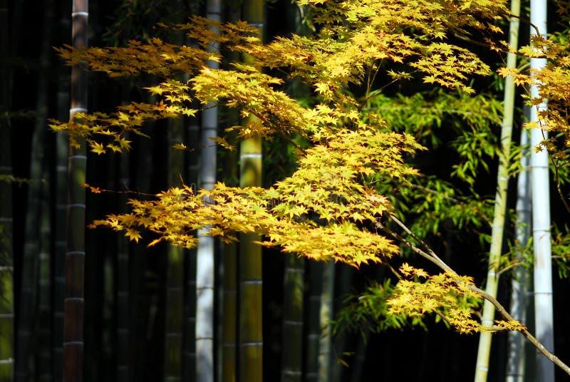 Bambusowy żółty klon fotografia royalty free