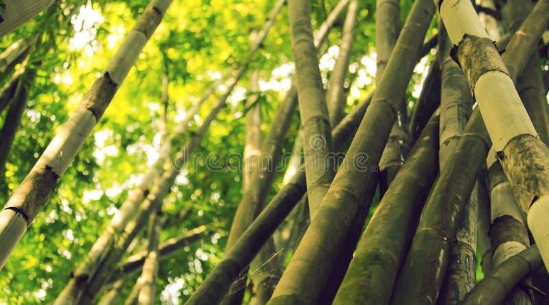 Bambusowy drzewo zdjęcia stock