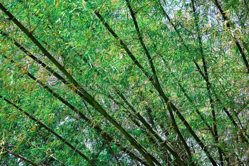 Bambusowy drzewo obrazy stock
