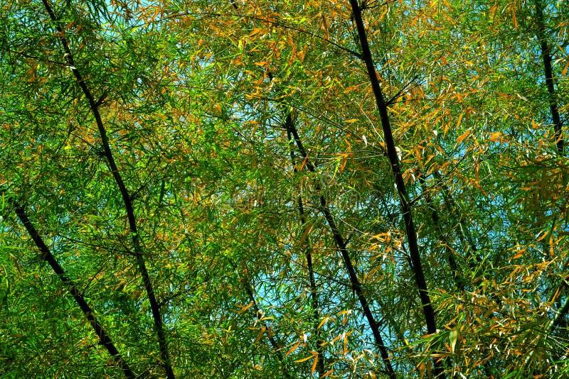 Bambusowy drzewo fotografia royalty free