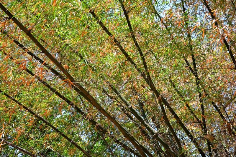 Bambusowy drzewo zdjęcie stock