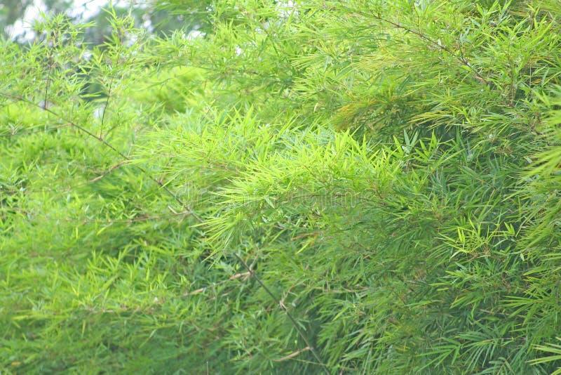 Bambusowy drzewo i popiół, zieleń liści tło zdjęcie royalty free