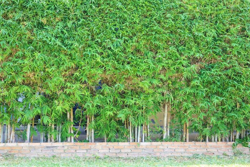 Bambusowy drzewo z zielenią opuszcza naturalną płotową dekorację fotografia royalty free