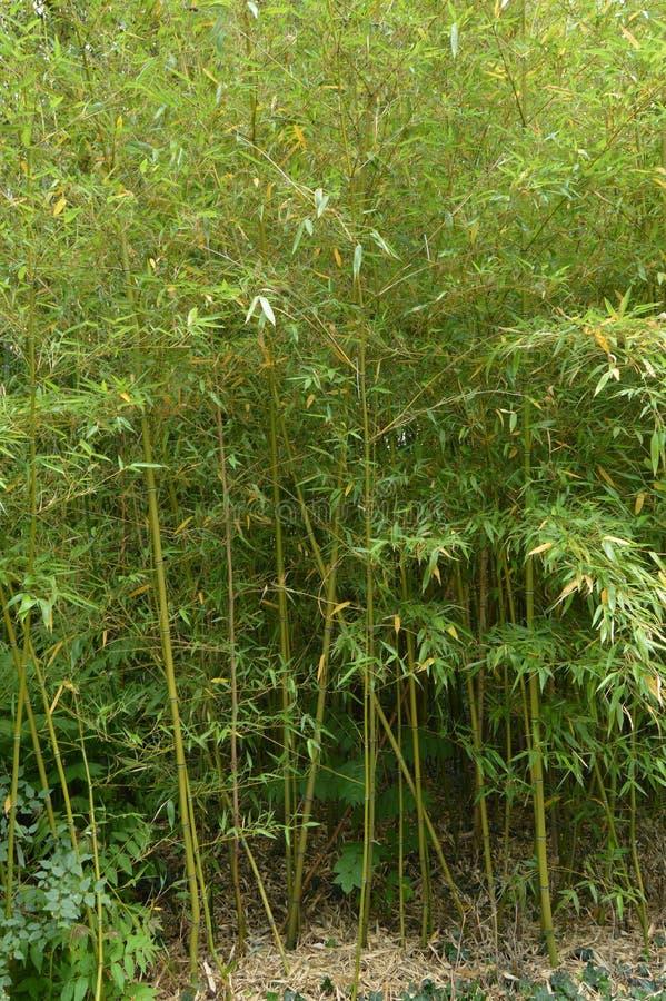 Bambusowy gaj, bambus r w parku fotografia royalty free