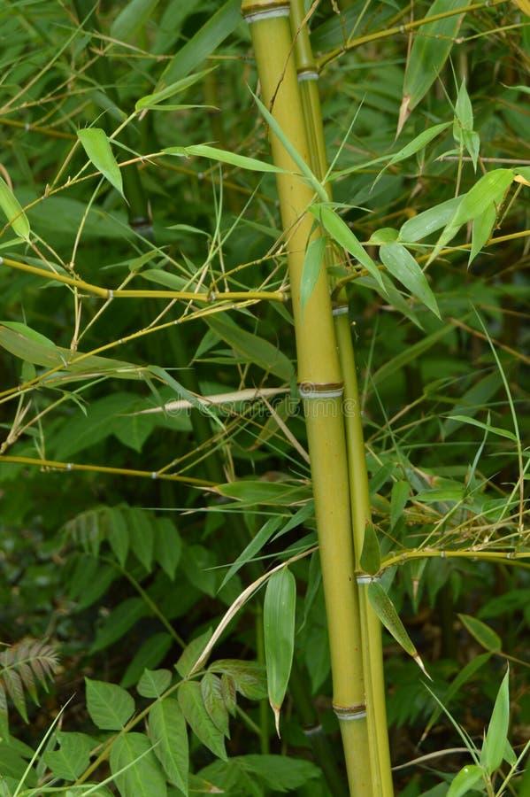 Bambusowy gaj, bambus r w parku zdjęcia royalty free