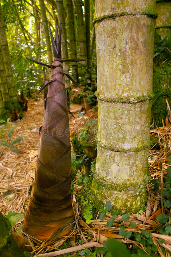 bambusowy krótkopęd zdjęcia royalty free