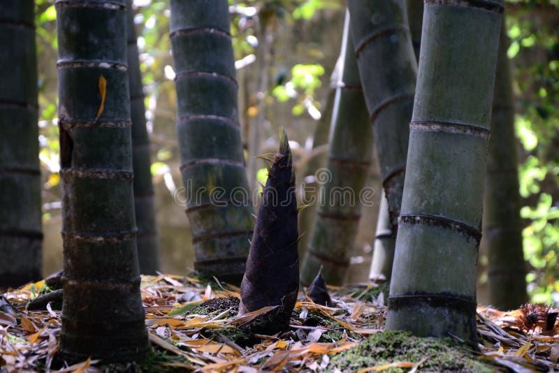 bambusowy krótkopęd zdjęcie stock