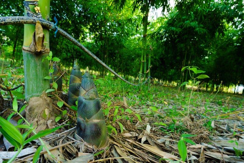 Bambusowy krótkopęd, Bambusowi krótkopędy podczas podeszczowego sezonu fotografia stock